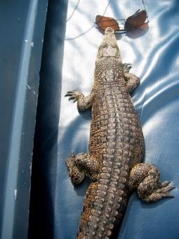 srilanka crocodile